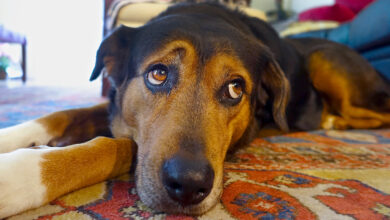 Can I Give My Dog MiraLAX